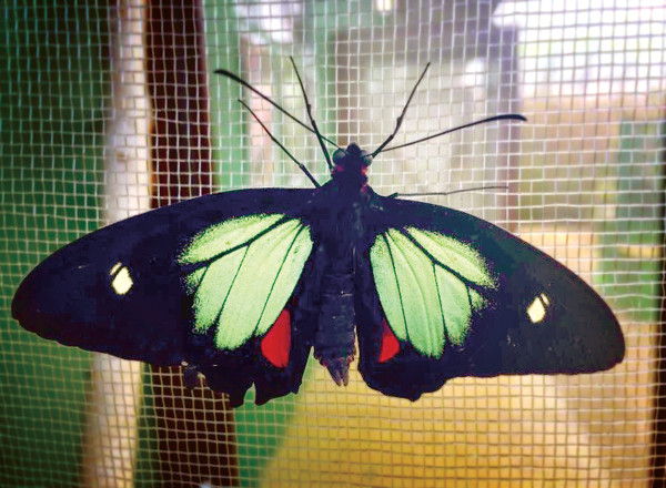 Parides Childrenae