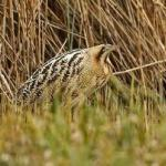Lee Valley Regional Park tracks the elusive bittern