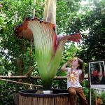 World's largest flower creates titanic stench at the Eden Project